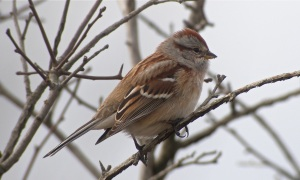 American Tree Sparrow - by Drew Webber